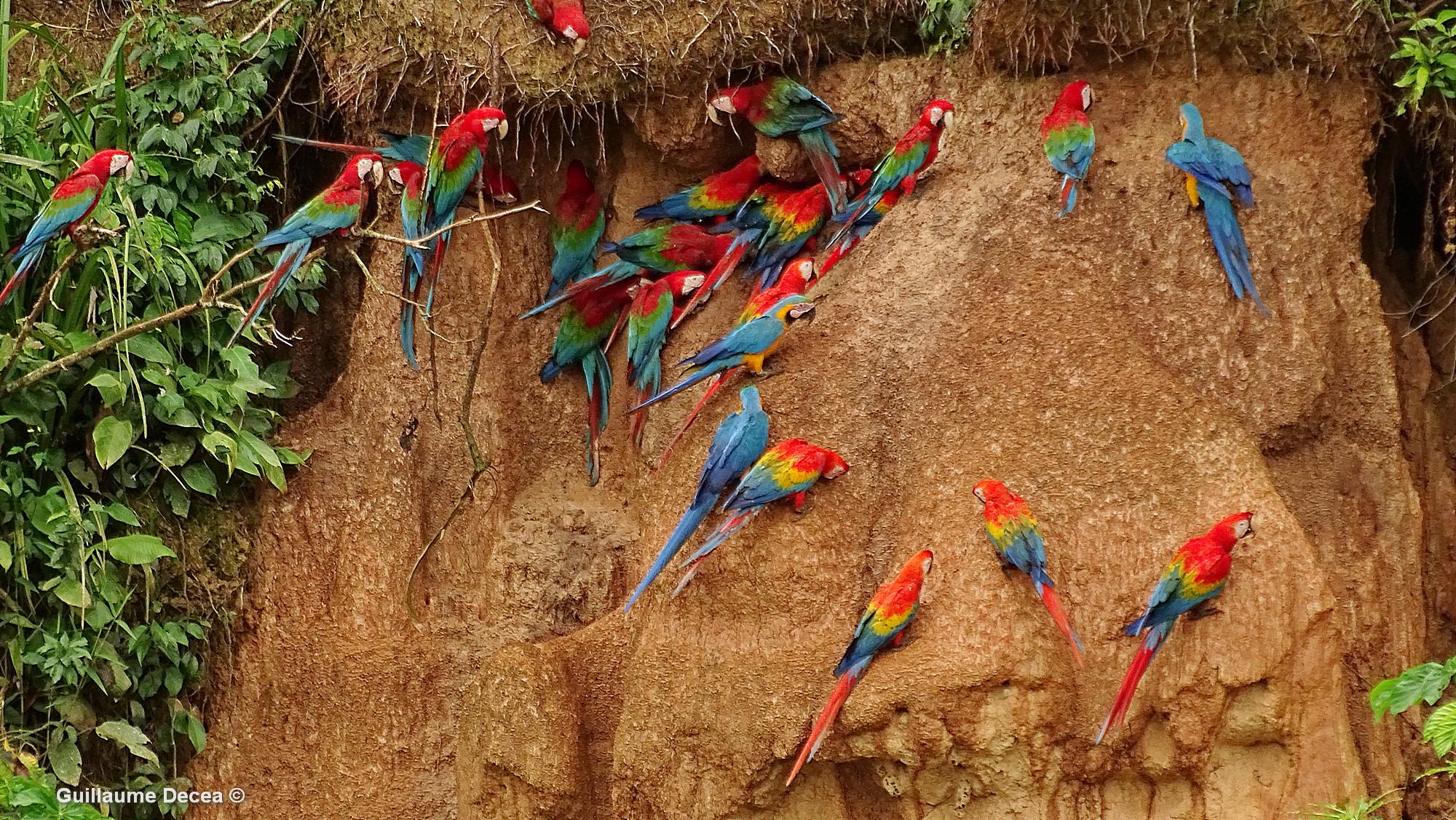 perroquets, argile, calcium
