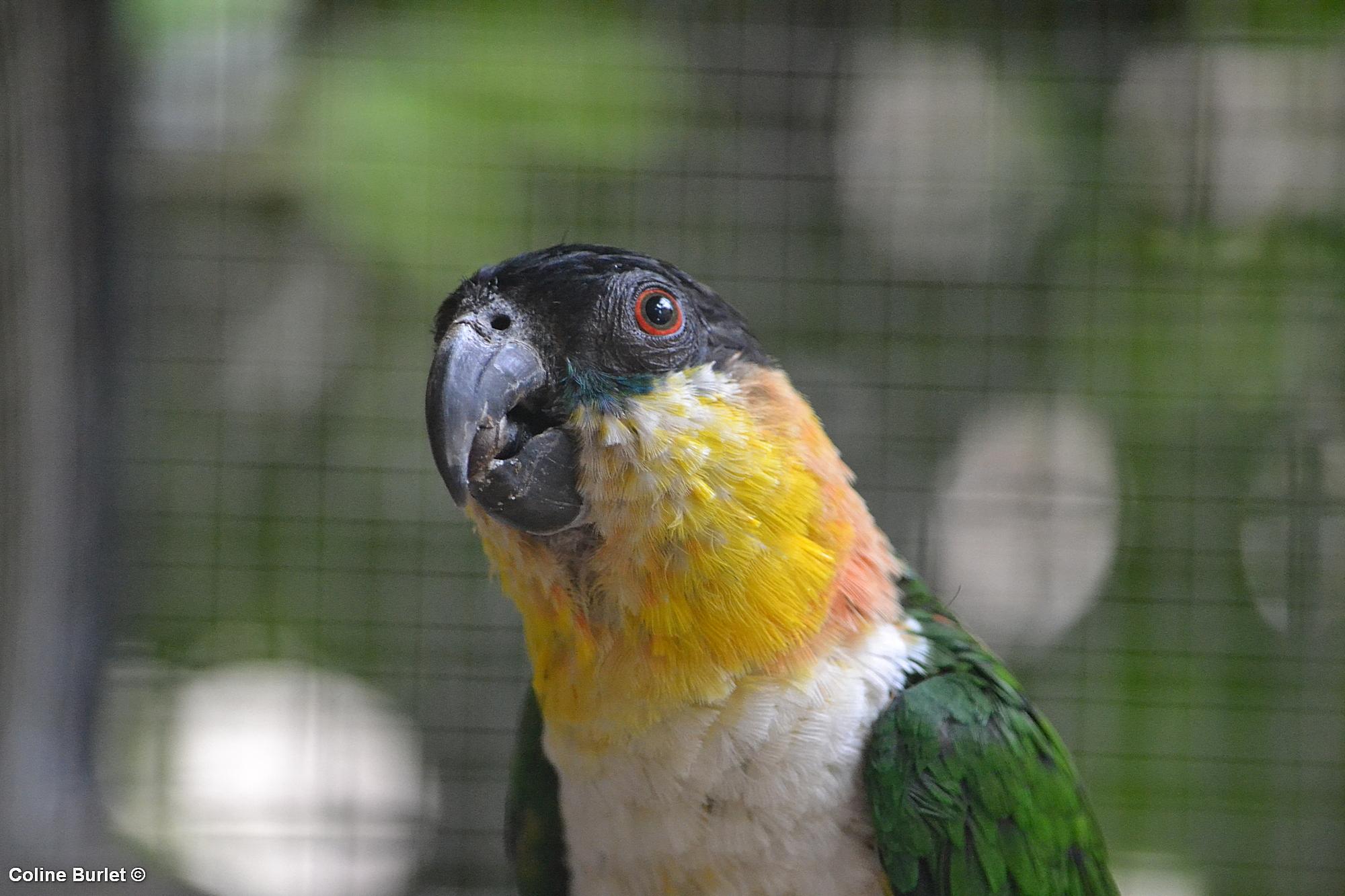 caïque maïpourri, protection des oiseaux exotiques